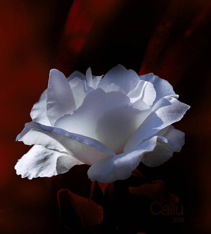Gentle Touch II by Callu