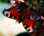 Butterfly by Callu