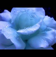 Venice Rose by Callu