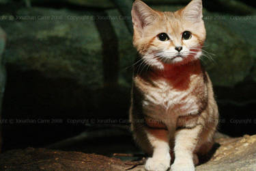 Sand cat by InsaneGelfling