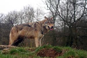 North American-European Wolf 2 by InsaneGelfling