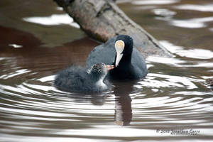 Common Coot with chick by InsaneGelfling
