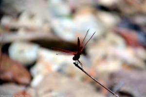 Red Dragon by DavidGrieninger