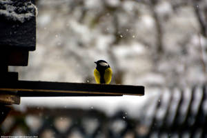 The Great Tit (Kohlmeise) by DavidGrieninger