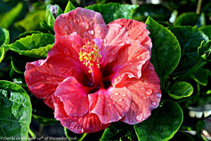 Dreamy Hibiscus Mornings by DavidGrieninger