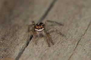 Salticidae by Astaroth667