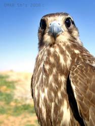 The Falcon by Omar3sh