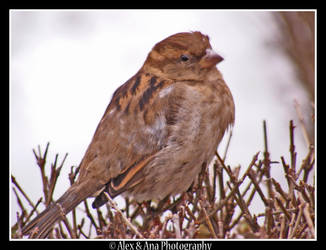 Sparrow. 1 by AlexAnaPhotography