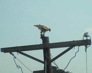 Falcon's Prey by steward