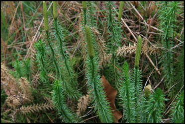 Lycopodium 2008 by Adarion