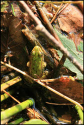 frog at the elven lake 2 by Adarion