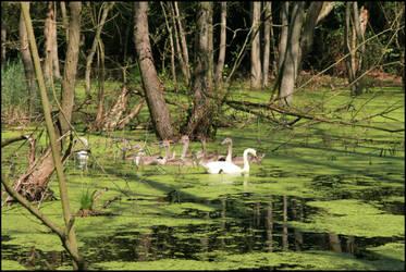 Swans in the swamp by Adarion