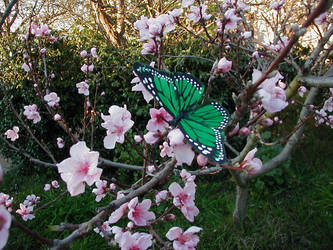 blossoms by Strawb3rry-ninja