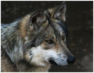 El Lobo by neetrith