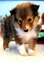 Sheltie Puppy by fewofmany