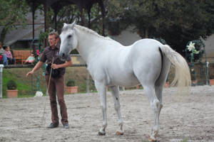Gray lusitano 11 by CitronVertStock
