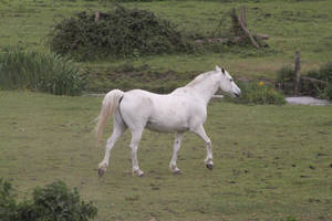 Gray pony by CitronVertStock