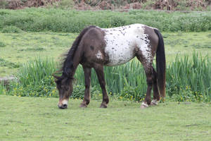 Appaloosa pony by CitronVertStock