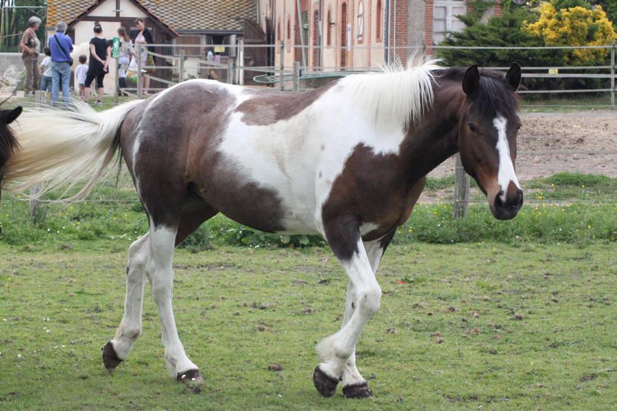 Tobiano pony by CitronVertStock