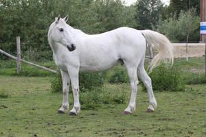 Gray Pony 11 by CitronVertStock