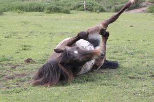 Appaloosa pony 6 by CitronVertStock