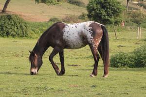 Appaloosa pony 9 by CitronVertStock