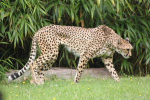 Cheetah 3 by CitronVertStock