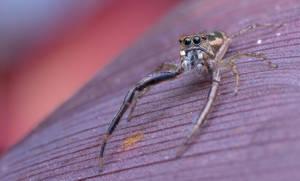 Long legged jumping spider by Kisarisary