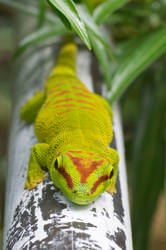 Day Green Gecko by Kisarisary