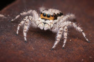 a familiar face? [jumping spider] by Kisarisary