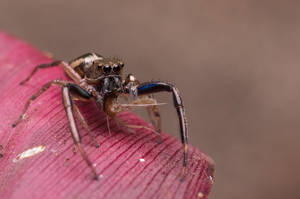 Blue legged Jumping Spider lunchtime by Kisarisary