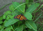 Butterfly for Applemac12 by AprilDraven