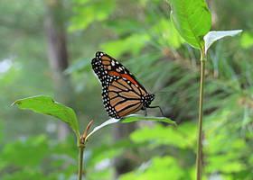 Wild Monarch by AprilDraven