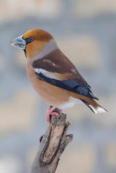 Coccothraustes coccothraustes by athenenoctua81