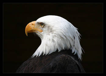 bird of prey by ssilence
