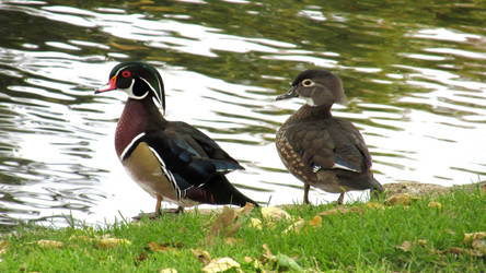 Wood Duck Couple 0278 by Zorias