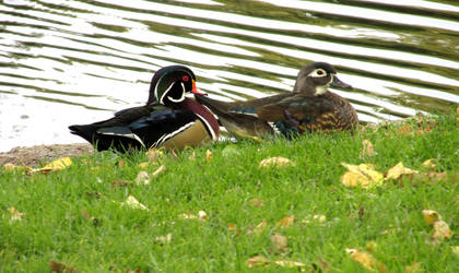 Wood Duck Couple 0280 by Zorias