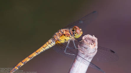 Dragonfly with smooth bokeh and sharp eyes, body by RaptorXilef