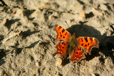 A butterfly in the desert / Polygonia c-album by Sela01
