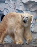 polar bear 3 by FubukiNoKo