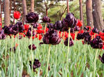 tulips 2 by FubukiNoKo