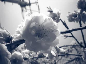 035 sakura by FubukiNoKo