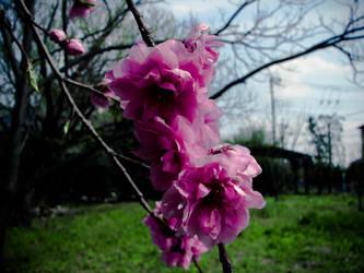 036 sakura by FubukiNoKo
