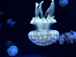 Wandering Jellyfish by Amienda