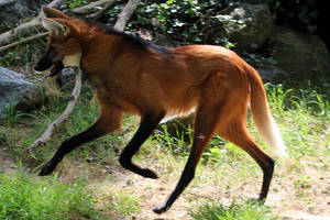 Running Maned Wolf by faolruadh