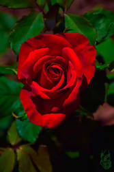 Deep Red Rose by triple7photography