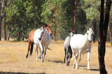 Horse Herd 2 Stock by blaisedrew62