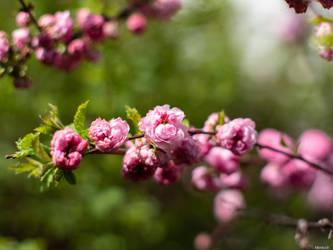 Ein Zweig voll Rosa by Merkosh