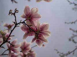 Under a magnolia tree by Merkosh