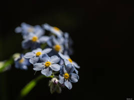 Forget me not by Merkosh